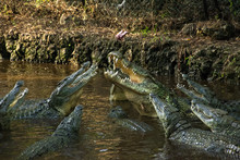 A Group Of Nile Crocodiles (Crocodylus Niloticus) Fighting For Meat On A Rope Above Them