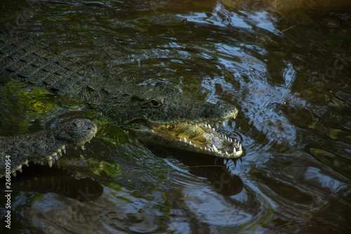 Foto op Canvas Krokodil Nile crocodile (Crocodylus niloticus) partially submerged in dark water