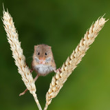 Adorable cute harvest mice micromys minutus on wheat stalk with neutral green nature background - 268615162