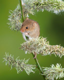 Adorable cute harvest mice micromys minutus on white flower foliage with neutral green nature background - 268615392