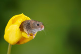 Adorable cute harvest mice micromys minutus on yellow tulip flower foliage with neutral green nature background - 268615530