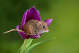 Adorable cute harvest mice micromys minutus on purple tulip flower foliage with neutral green nature background - 268615561