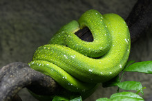 Green Tree Python Coiled Up On...