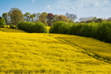 Lovely landscape image of rapeseed canola field in beautiful soft Spring morning sunlight in English countryside - 268617501