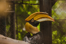 Great Hornbill In A Cage Is A Very Large Hornbill Found In The Forest. Can Last Up To 50 Years