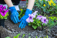 In The Spring To Plant Petunias The Most Beautiful Occupation.