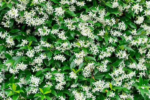 Fotografie, Obraz Wall of Chinese star jasmine flowers (Trachelospermum jasminoides) in bloom