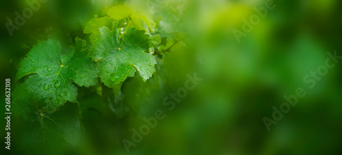 Fotografia Vine leaves with raindrops.  Defocused background.