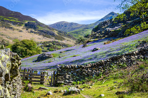 Spoed Foto op Canvas Aubergine A view of the Rannerdale valley with the spring display of blue bells climbing the hillside and famed for growing out in the open rather that in woodland shade. Showing the stone wall and the gate