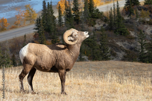 Big Horn Sheep in Jasper National Park, Alberta Canada Wallpaper Mural