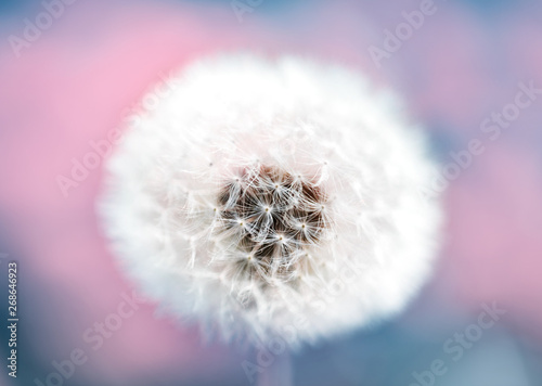 Poster Paardenbloem Dandelion Macro With Great Bokeh On A Meadow In Berlin Germany