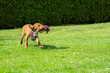 Leinwandbild Motiv Adorable Hungarian Vizsla puppy running in a garden with colorful tug of war rope in mouth.