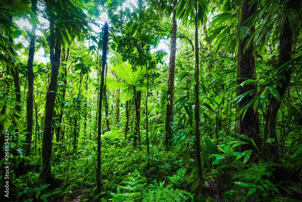 Fototapeta Thick vegetation in Guadeloupe jungle