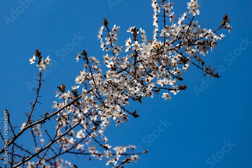 Photo  View of flowering prunus spinosa tree in the spring spring garden