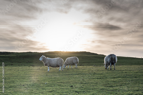 Montage in der Fensternische Khaki Sheep on a farm in Scotland - Isle of Skye, lambing season