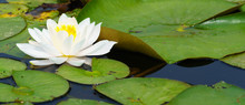 Panoramic View Of White Water Lily On Pond And Lily Leaf Background