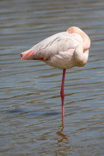 Greater Flamingos, Phoenicopterus Roseus, Standing In Water With Its Head Between Its Wing And Its Eye Open In Camargue, France