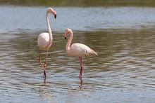 Paring Of Greater Flamingos, Phoenicopterus Roseus, In Camargue, France