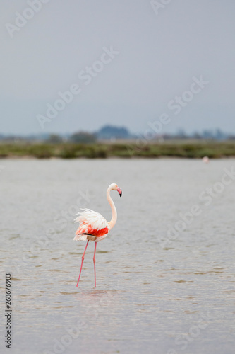 Foto op Aluminium Flamingo Greater flamingo, Phoenicopterus roseus, with feather blown by the wind in Camargue, France