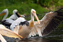 The Great White Pelican (Pelec...