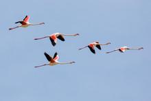 Flock Of Greater Flamingos, Ph...