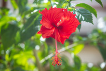 Close Up Of Red Hibiscus Flowe...