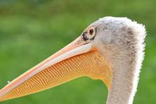 Head Shot Of A Pelican