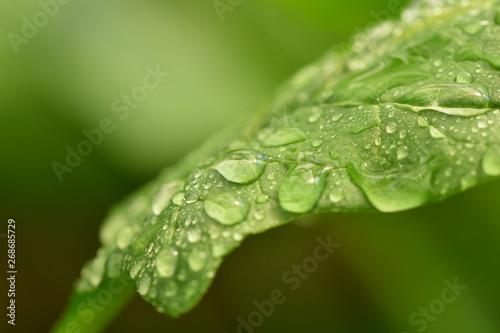 Fototapeta drops on green leaf obraz na płótnie