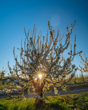 Fruit Tree In An Idaho Orchard With A Sunburst Peeking Through
