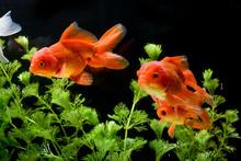 Goldfish Carassius Auratus Background Aquatic Plants