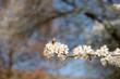 canvas print picture - Biene Frühling weiße Blüten Baum