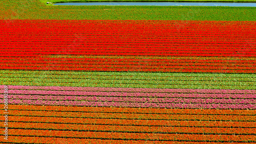 Foto auf Gartenposter Rot Aerial view of bulb-fields in springtime, located between the towns of Lisse and Sassenheim, province of Zuid-Holland, the Netherlands
