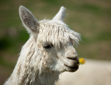 White Alpaca Chewing On A Dand...