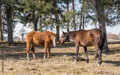 Valokuva Twain beautiful horses.Two horses graze in the meadow.