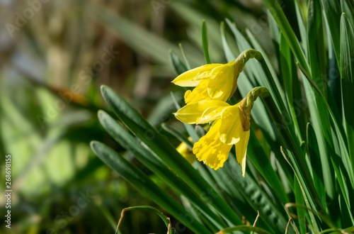 Recess Fitting Narcissus Daffodil flower in grass. Slovakia