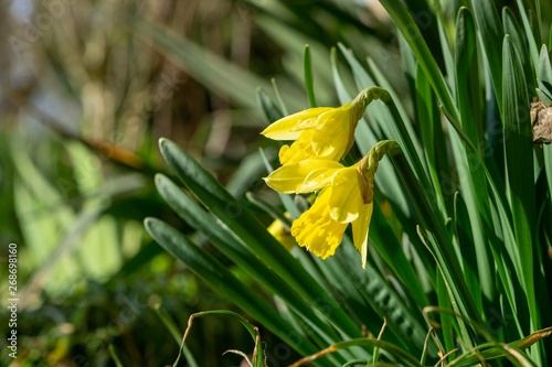 Wall Murals Narcissus Daffodil flower in grass. Slovakia