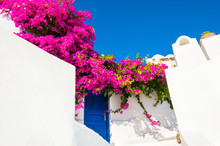 Traditional Greek Architecture And Pink Flowers Of Bougainvillea On Santorini Island, Greece.