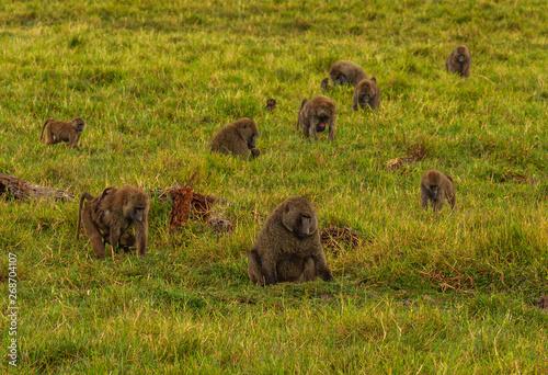 Fotografie, Obraz  Olive baboons, anubis baboons, Papio anubis, troop feeding in green grassland Ol