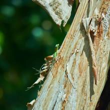 Graham's Anole, The Jamaican Anole Lizard Of Banana Tree