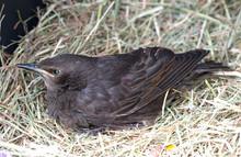Female Blackbird Resting On St...