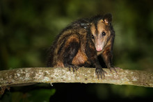 Common Opossum - Didelphis Mar...