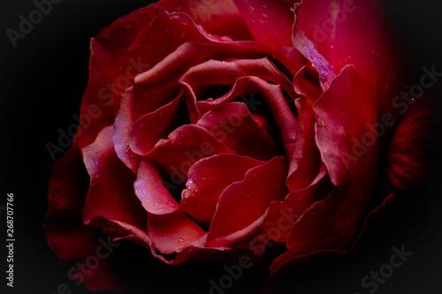 Cadres-photo bureau Fleuriste une rose rouge en gros plan sur fond noir avec des gouttes de pluie