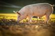 Leinwanddruck Bild - Pigs eating on a meadow in an organic meat farm