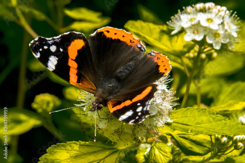 Montage in der Fensternische Schmetterling Butterfly on white flower