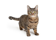 Attentive Brown And Black Tabby Cat Over White