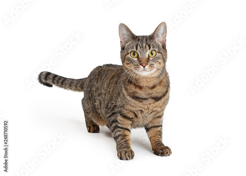 Photo Attentive Brown and Black Tabby Cat Over White