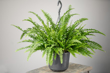 Nephrolepis Plants, Fern. Stylish Green Plant In Ceramic Pots On Wooden Vintage Stand On Background Of Gray Wall. Modern Room Decor. Sansevieria Plants
