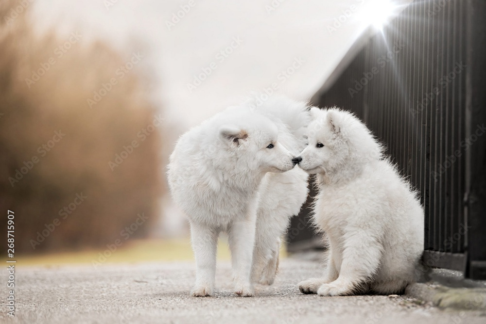 Fototapety, obrazy: Two cute dogs breed Samoyed.