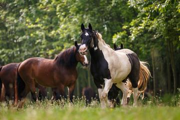 Fototapeta Koń Pferde im Wald