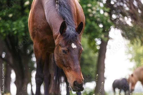 Fressendes Pferd Fototapet